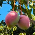 Mango Keitt 2