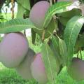 Mango Tommy Atkins 1