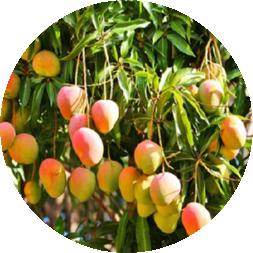 Mango Tommy Atkins 2