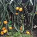 Pitahaya Amarilla Plantacion 1