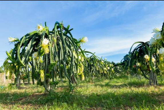 Pitahaya Amarilla Plantacion