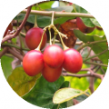 Tomate de Arbol 1