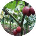 Tomate de Arbol 2